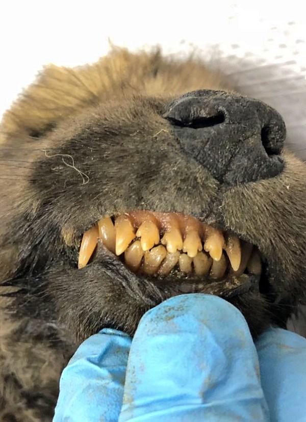 Hallan un cachorro congelado hace 18.000 años y no saben si es un perro o un lobo