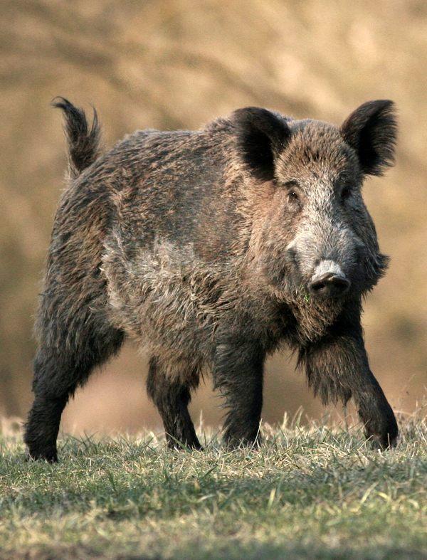 Proponen implementar las medidas de Nueva York y prohibir tajantemente en Galicia la caza de jabalíes
