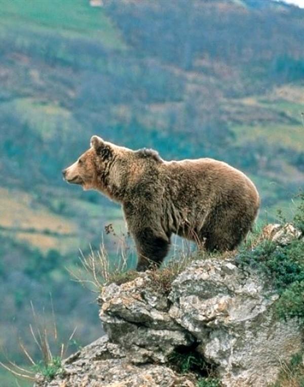 Castilla y León compra de 'pastores eléctricos' para compensar los daños ocasionados por el oso pardo
