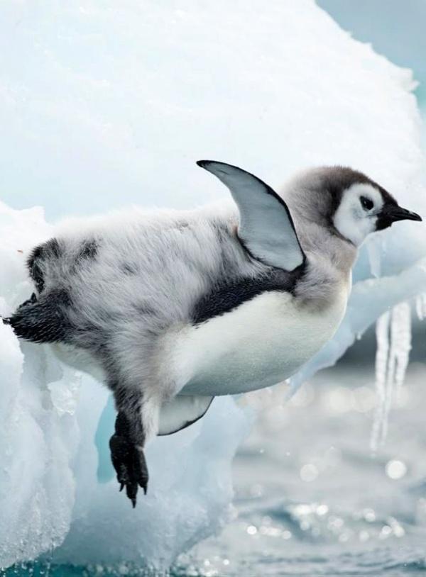 El cambio climático 'acecha' al pingüino emperador