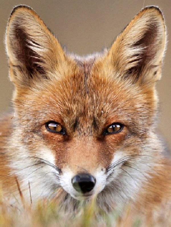 Galicia: la batida de zorros en Moaña es ilegal