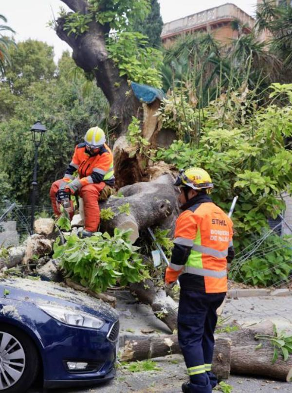 Salvar el árbol bellasombra de Palma de Mallorca
