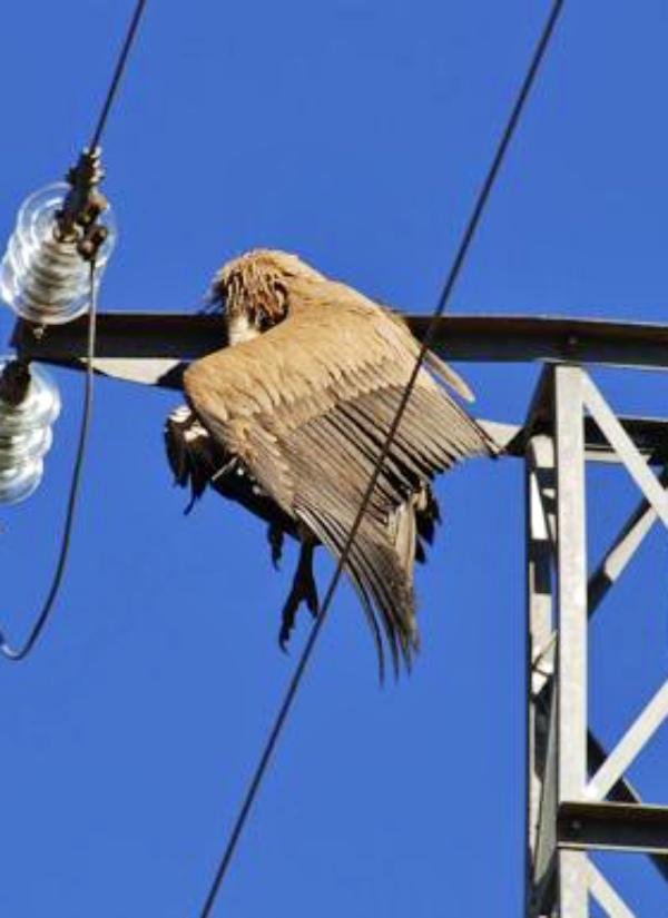 Destinan un presupuesto para evitar la electrocución de aves en tendidos eléctricos