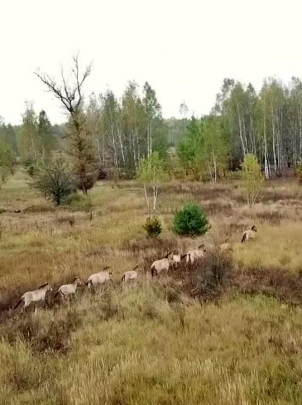 Una especie equina en peligro de extinción se refugia en 'Chernobyl'