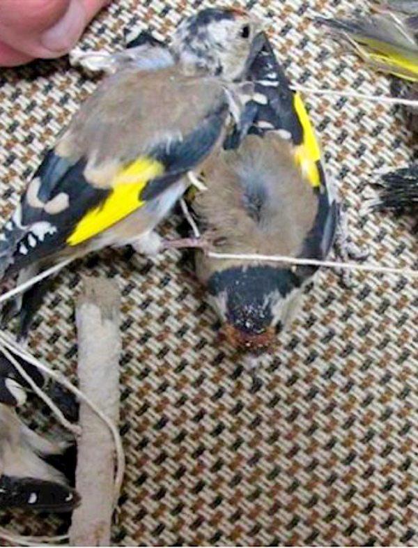 Un presunto delincuente cazaba pájaros con artes prohibidas en Jaén