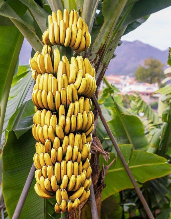 Tecnología verde. Residuos generados por el cultivo del plátano como alternativa ecológica al plástico