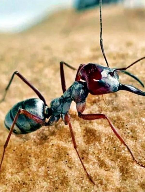 ¿Sabes qué hormigas son las más veloces del Planeta?
