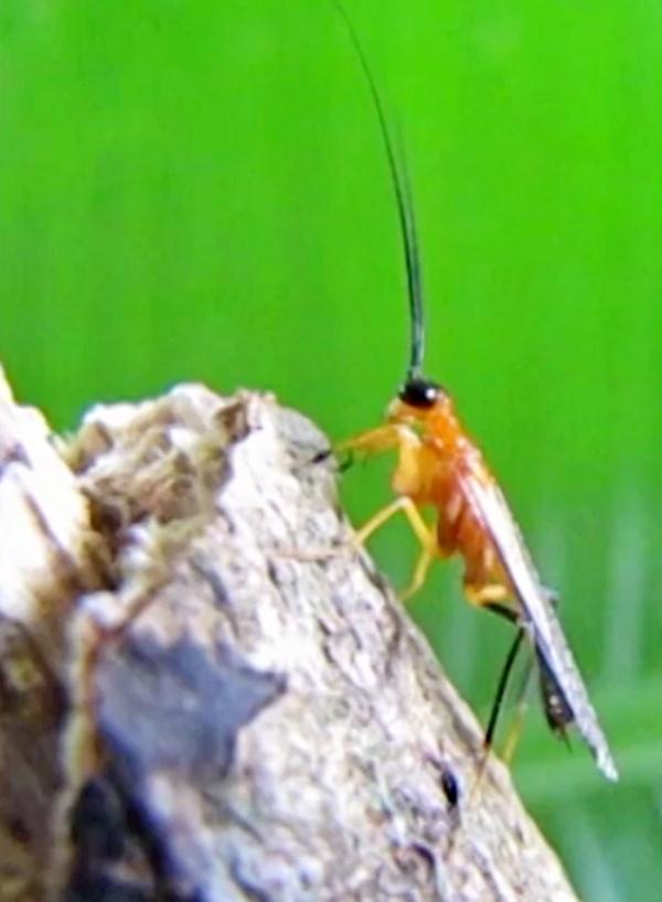 Increíble, descubren una nueva especie de mantis religiosa imitadora de avispas