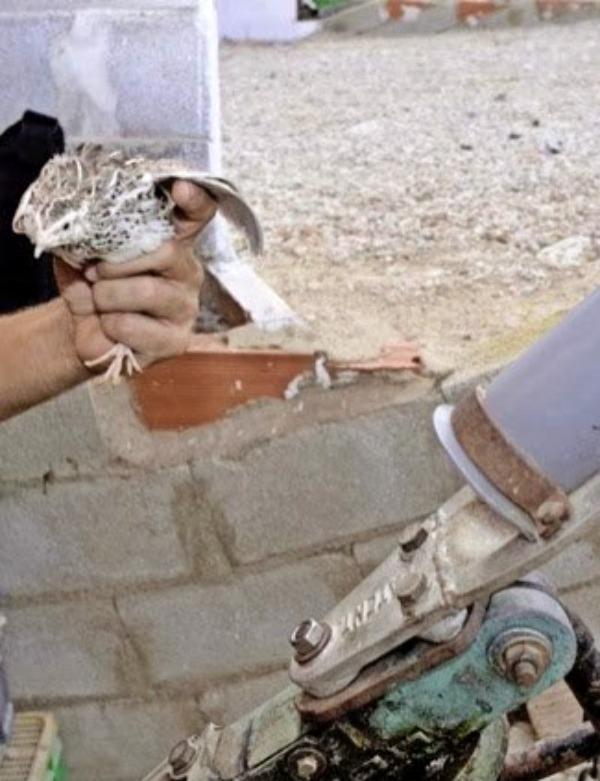 'Tiro al Plato' con codornices vivas en fiestas patronales de Andalucía
