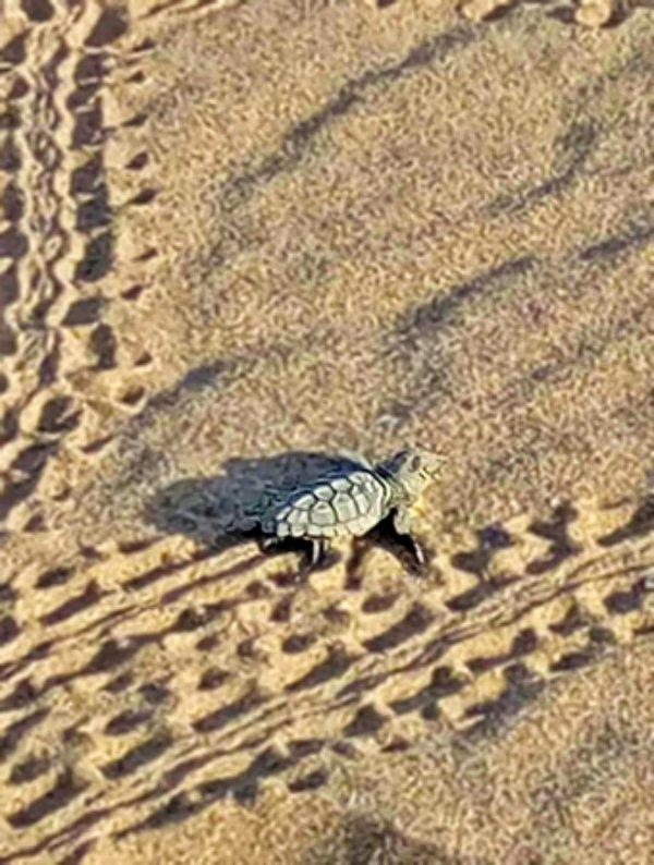 Nacen las primeras tortugas babaua de la temporada en la playa de Castelldefels