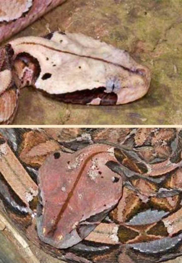 La víbora que en realidad es un sapo africano