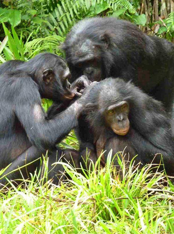 Chimpancés y bonobos deben estar incluidos en el género 'homo'