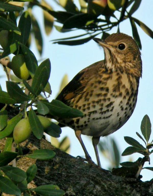 La prohibición de la recolección nocturna del olivar salva miles de 'aves'