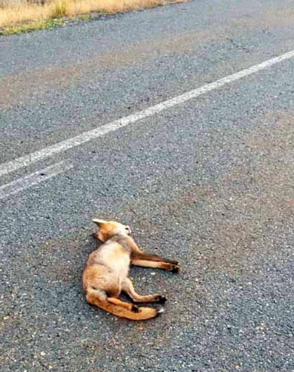 Estudio sobre los atropellos de Fauna Silvestre en carreteras