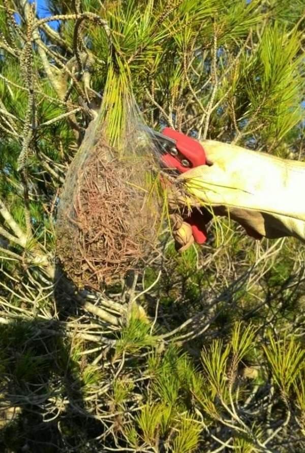 Utilizarán un producto biológico en más de 20 municipios de Mallorca para erradicar la procesionaria del pino