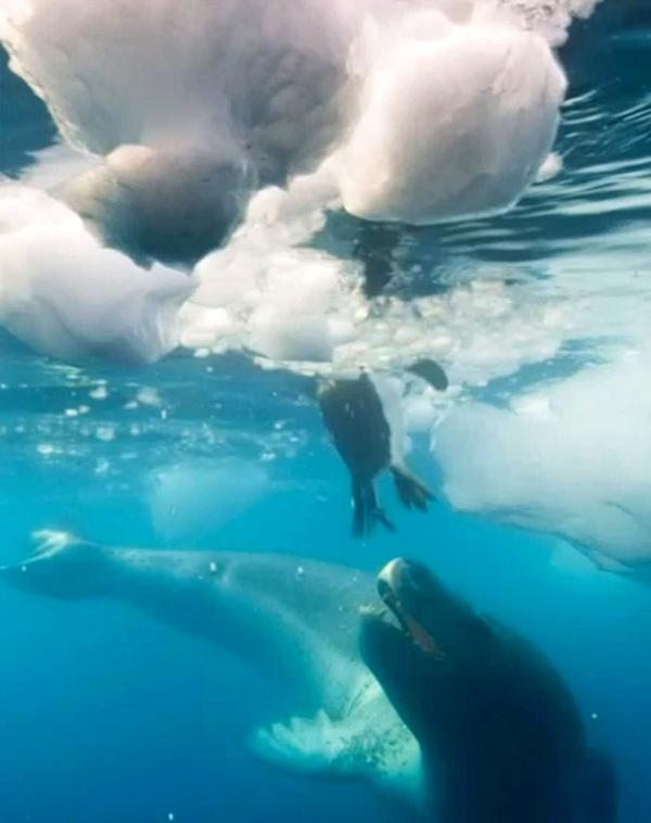 Estremecedor vídeo de un pingüino perseguido por una voraz foca leopardo