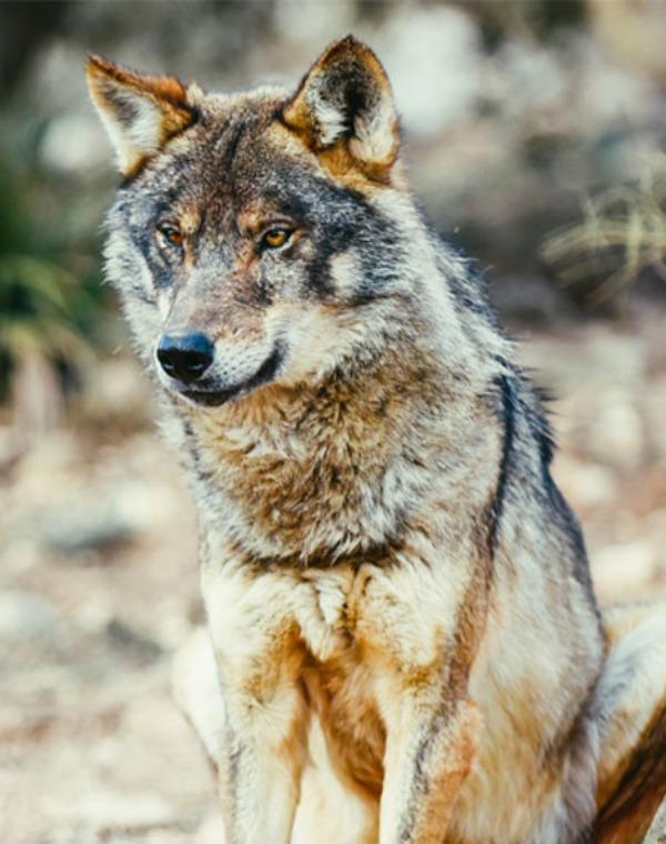 La Junta de Castilla y León 'pierde la cabeza' y autoriza matar a más de 300 lobos