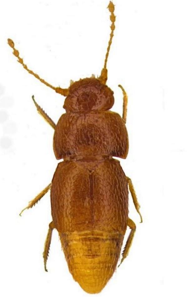 Una especie de escarabajo, nombrada en honor a Greta Thunberg