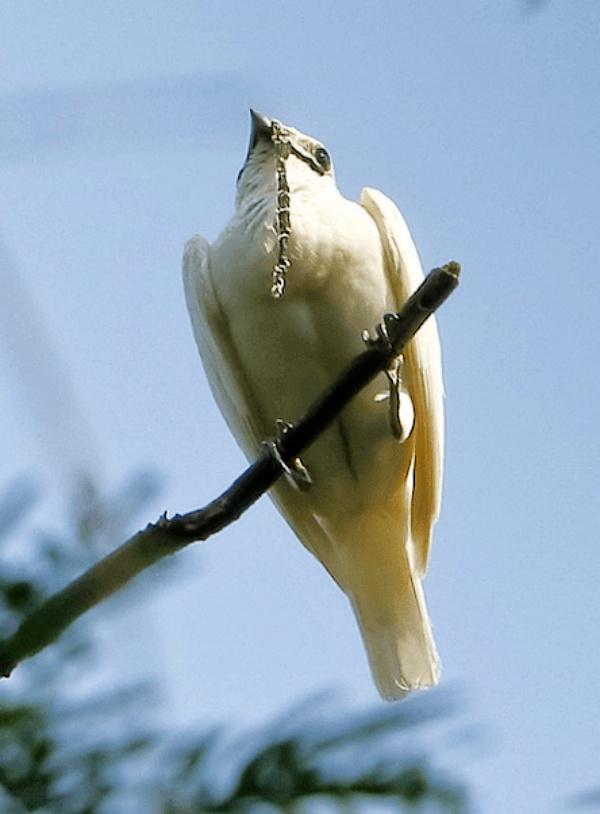 El campanero blanco, es un pájaro que grita con la potencia de un 'taladro industrial'
