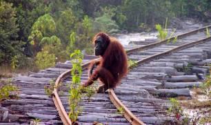 El aceite de palma destruye todos los habitats de los orangutanes