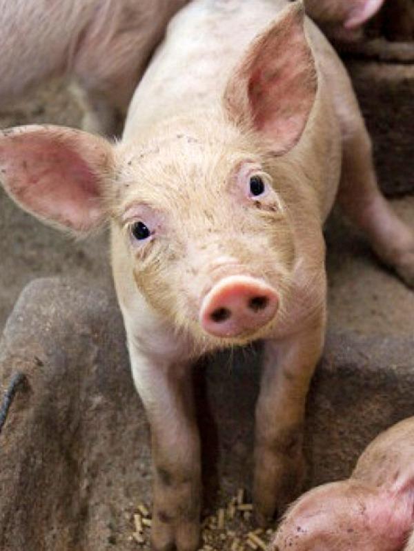 Pueblos Vivos Cuenca contra las macrogranjas de cerdos