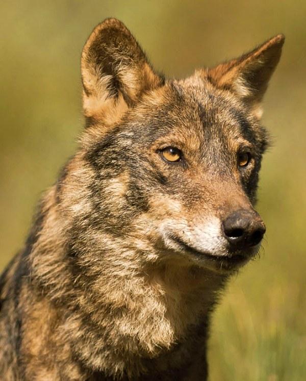 La Justicia Europea falla claramente a favor de la protección inequívoca del lobo