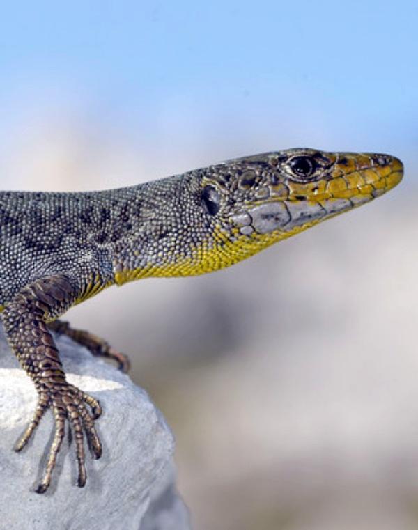 A algunas especies de lagartijas adaptadas a la alta montaña les perjudica notablemente el 'cambio climático'