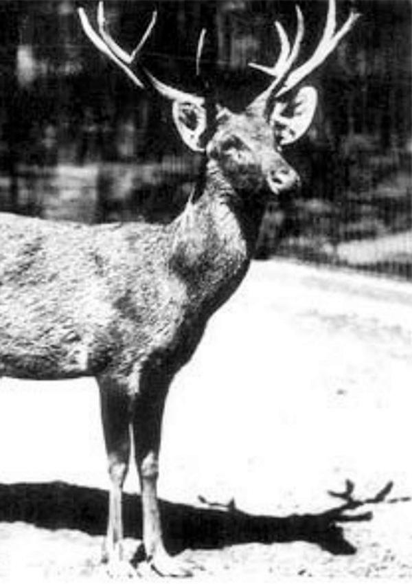 El ciervo extinto que regresa 'de entre los muertos'