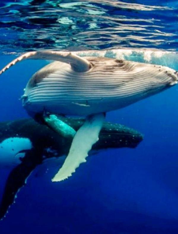 Las ballenas tienen un papel fundamental en la absorción del carbono de los océanos