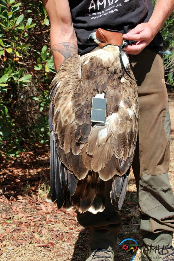 Recuperando un ejemplar de Águila perdicera tiroteada y un Águila culebrera electrocutada