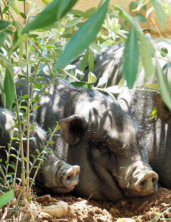 Polémica a cuenta de los cerdos vietnamitas de Tarragona