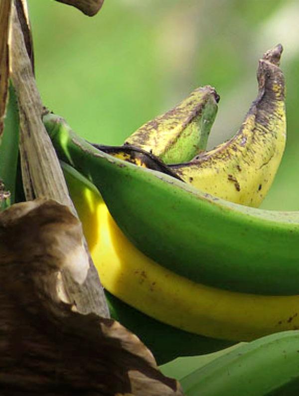 Tecnología verde que impide el crecimiento de un hongo que afecta a los cultivos