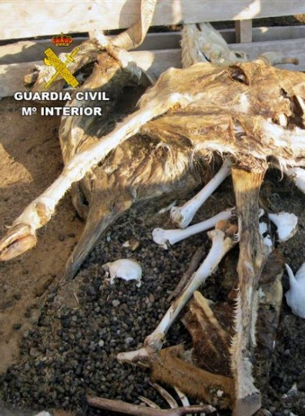 La Guardia Civil investiga los dueños de una granja en Lorca por presunto delito de maltrato