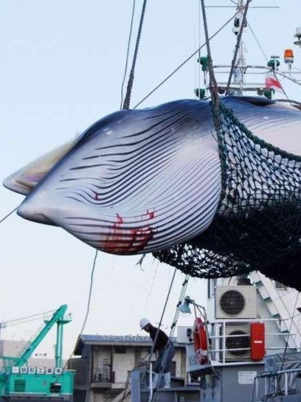 España 'lamenta' la reanudación de la caza de ballenas, por parte de Japón