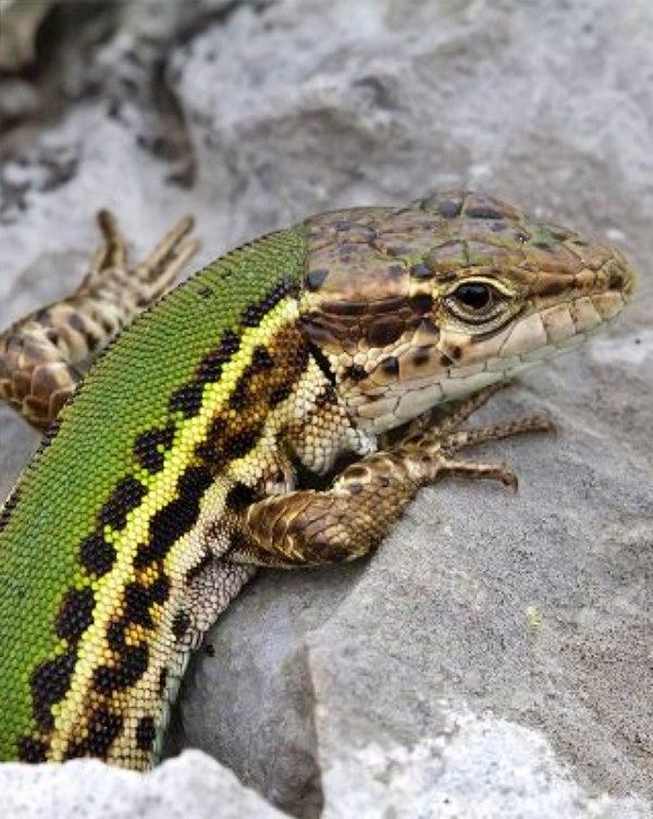 Para los lagartos 'el tamaño SI que importa'