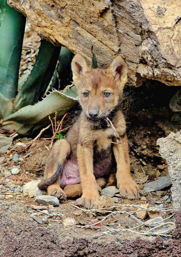 El Museo del Desierto en Saltillo (Coahuila) celebra el nacimiento de tres lobos grises mexicanos