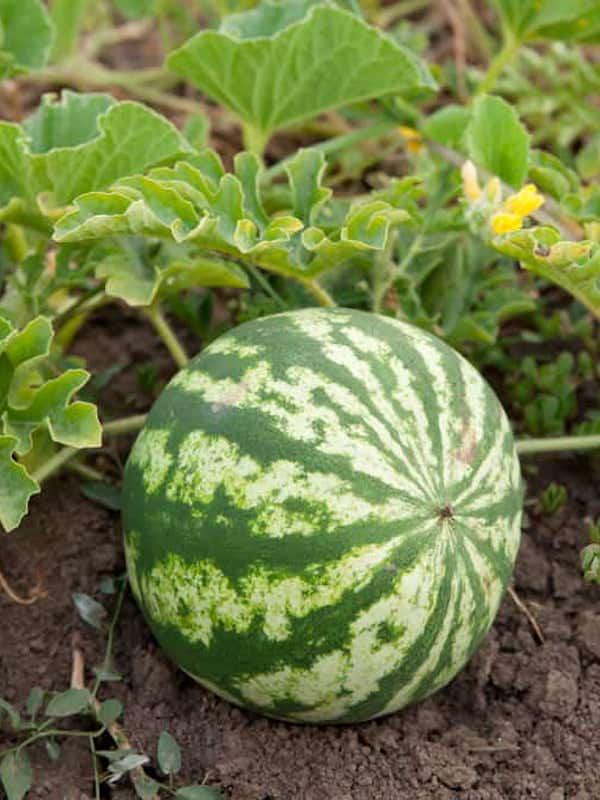 Andalucía. Control de la calidad de sandía y melón