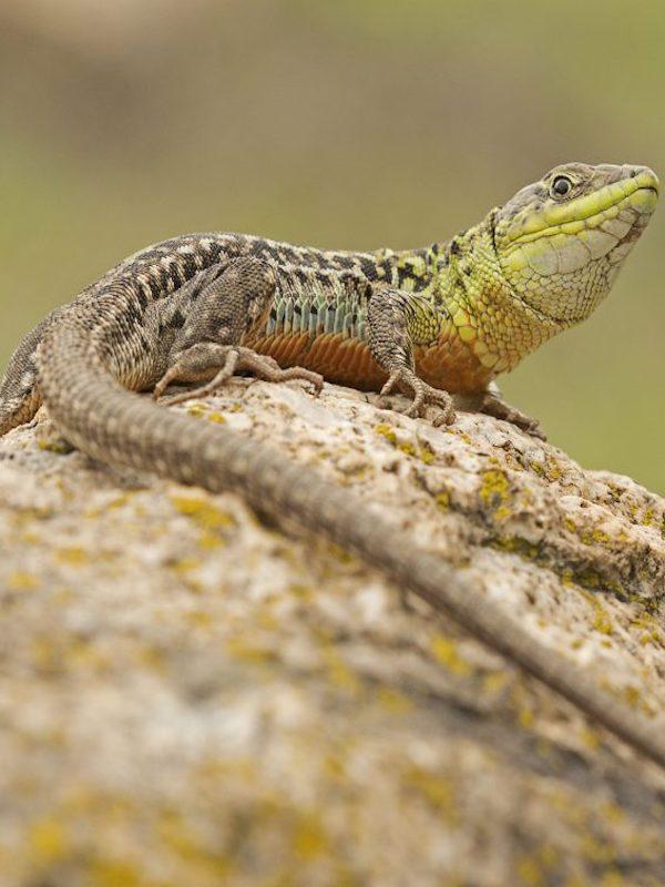 Málaga edita la primera guía dedicada a anfibios y reptiles de la provincia