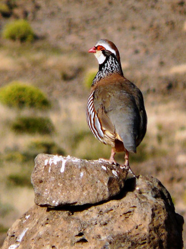 Los cazadores tienen una 'pataleta' por declarar la perdiz roja como especie vulnerable