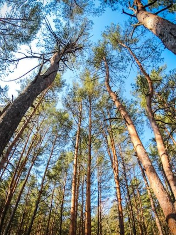 Los bosques maduros ya no pueden absorber más carbono de la atmósfera