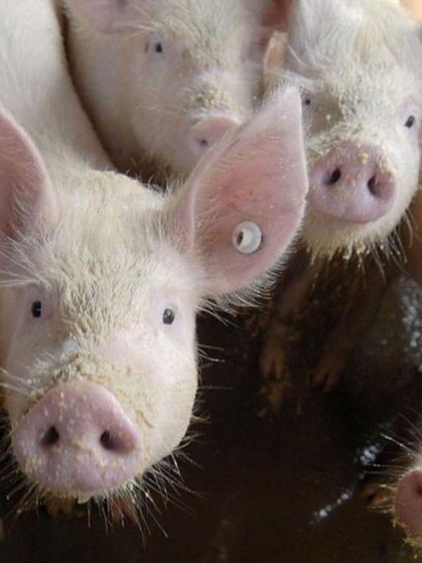 COVID-19. Los animales de granja son víctimas del 'caos'