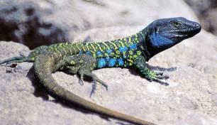 Mata 'sin miramientos' a cinco lagartos protegidos en Tenerife