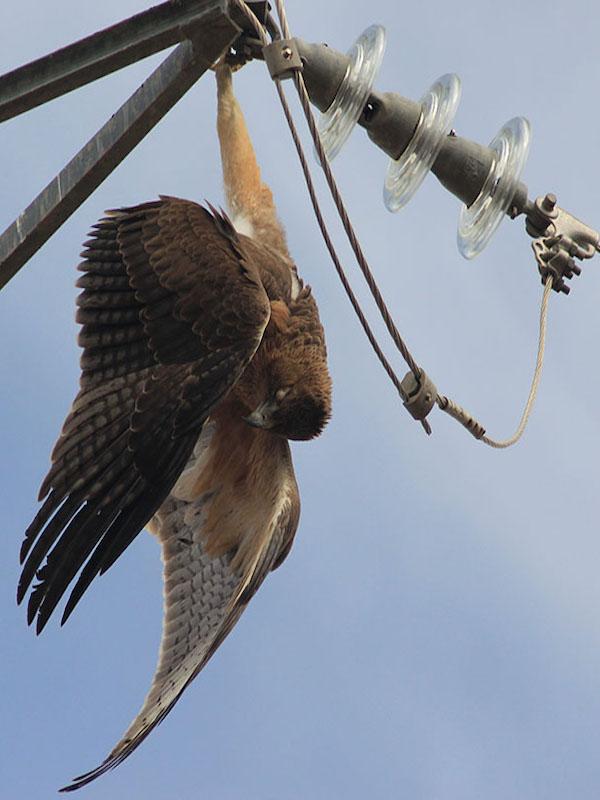 Los tendidos eléctricos matan a millones de aves al año en España