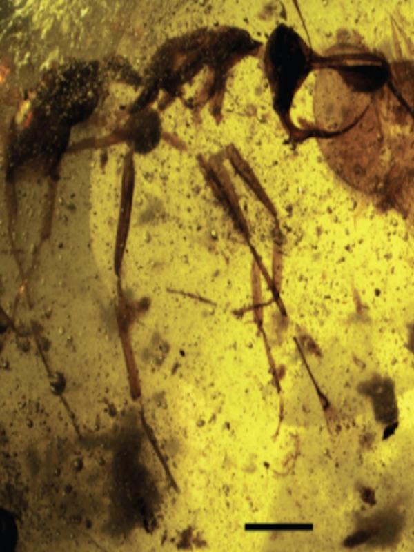 Hallan un fósil de 'hormiga del infierno' preservado en ámbar de 99 millones de años de antigüedad