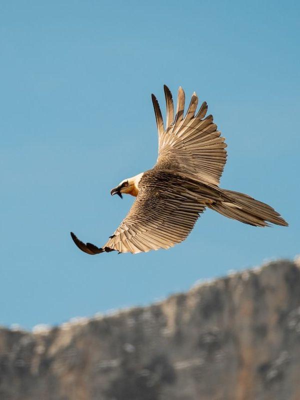 El primer quebrantahuesos nacido en Picos de Europa en 75 años ya vuela