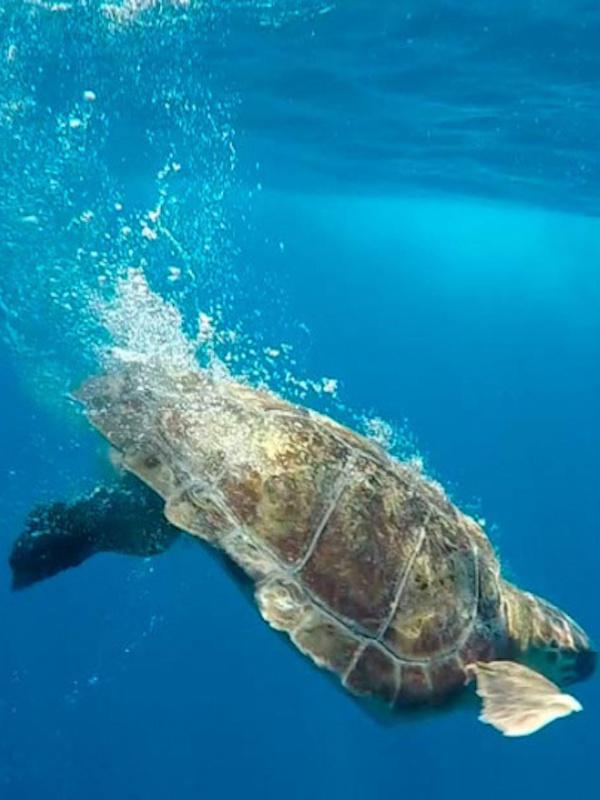 Estudiamos vía satélite dos tortugas marinas que anidaron en playas de Cataluña y Valencia