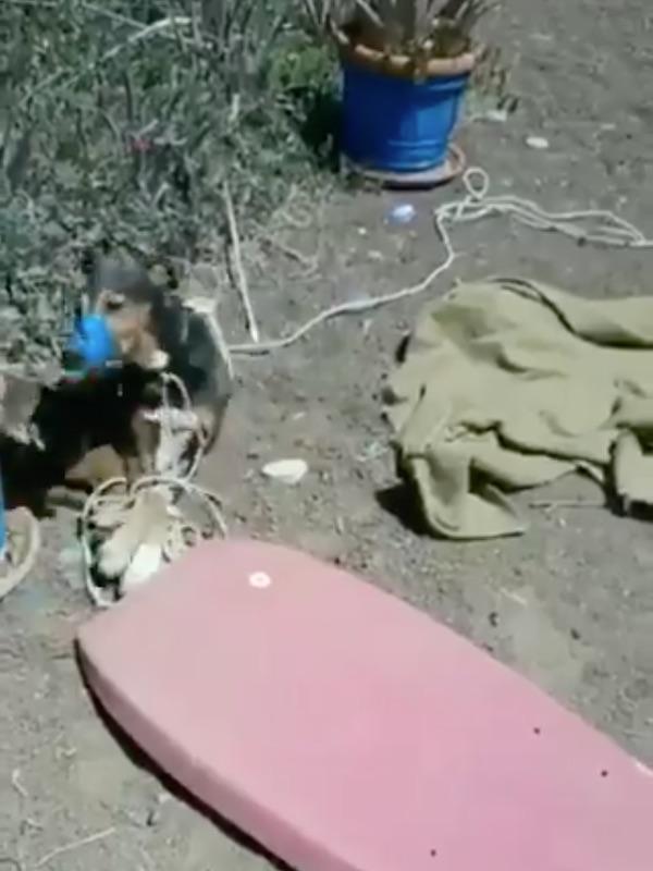 Timple, el perro amordazado y asfixiado en Lanzarote