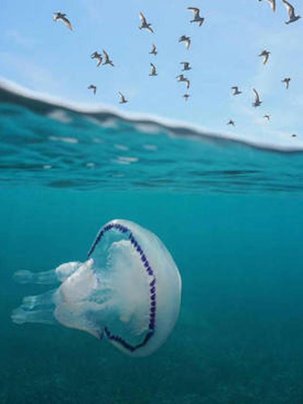 ¿Orina para las picaduras de medusa?