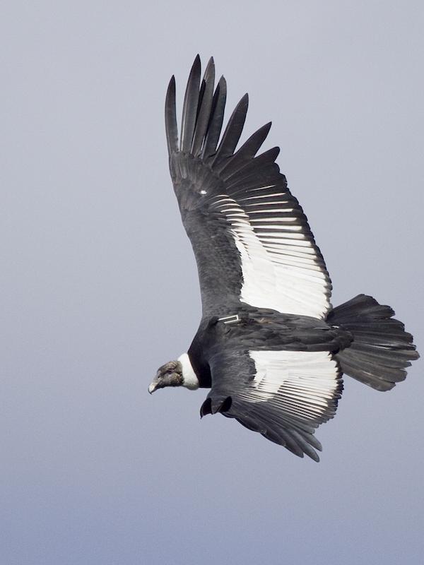 Cóndor andino: el arte de volar en las alturas con el mínimo esfuerzo