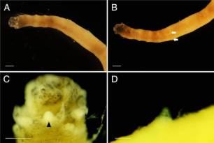Descubren una nueva especie de gusano marino en el océano Antártico